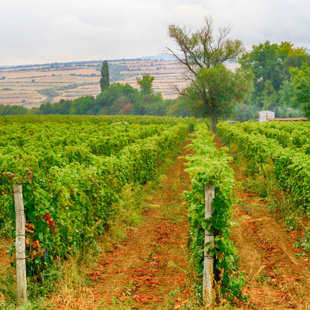 The  vineyards in the region produce the country's best grapes varieties.