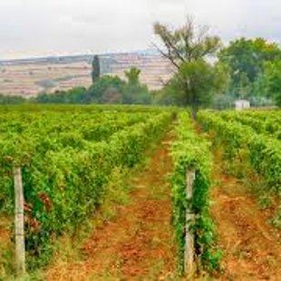 Виноградники в области производит лучшие сорта винограда в стране.